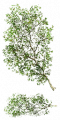 Fo birch branch Su.png