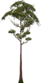 Fo big tree Su X F.png
