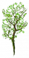 Fo bigroot branche Sp.png