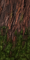 Fo giant tree tronc moss Su.png