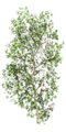 Fo birch feuillage Su.png