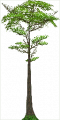 Fo giant tree Sp X L.png